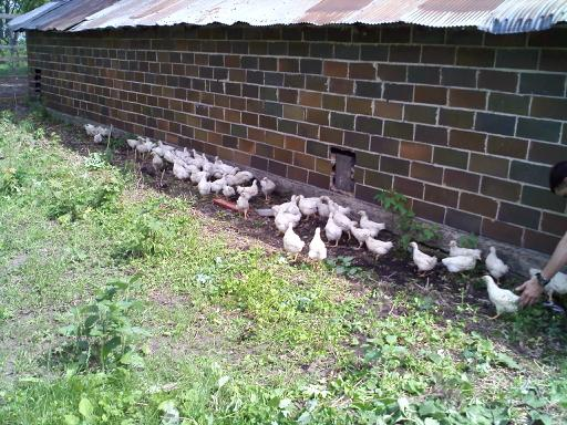 chickens in yard